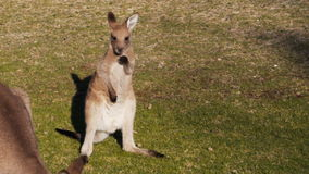 Cute young kangaroo