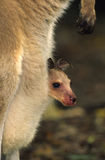 Cute Young Kangaroo in Pouch. A cute young (joey) kangaroo peeking out of its mother's pouch Royalty Free Stock Image
