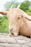 Cute young kid goat in a farm Royalty Free Stock Photography