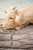 Cute young kid goat in a farm Stock Photos