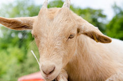 Cute young kid goat in a farm Royalty Free Stock Image