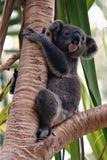 Cute young koala bear in a palm tree Royalty Free Stock Photo