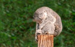 A cute young Koala sits sound asleep balanced on a wooden post. In front of eucalyptus plants with his arm hanging down one side of a wooden post and his behind royalty free stock photo