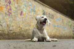Cute young labrador dog puppy in the sun Royalty Free Stock Images