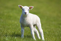 A cute and young lamb Stock Image