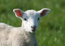 Cute Young Lamb in Field. Newly born lamb in meadow Stock Photography