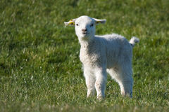Cute young lamb at springtime Stock Photo