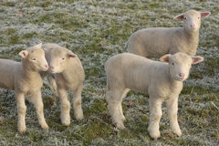 Cute Young lambs. Young lambs playing in field Royalty Free Stock Photos