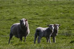 Cute young lambs in field Royalty Free Stock Images
