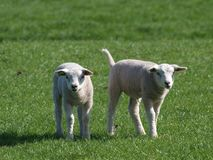 Cute young lambs in the meadows of Moordrecht in the sun in the Netherlands. Cute young lambs in the meadows of Moordrecht in the sun in the Netherlands royalty free stock photo