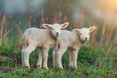 Cute young lambs on pasture, early morning in spring. Symbol of spring and newborn life royalty free stock photography