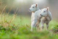 Cute young lambs on pasture, early morning in spring. Symbol of spring and newborn life stock photography