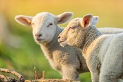 Cute young lambs on pasture, early morning in spring. Symbol of spring and newborn life royalty free stock image
