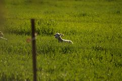 Cute young lambs with their mother feeding on green grass fields stock image