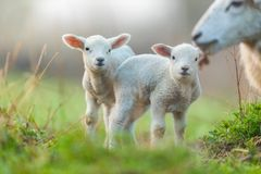 Cute young lambs with their mother on pasture Royalty Free Stock Photo