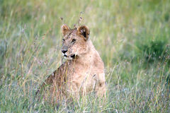 A cute young lion Royalty Free Stock Photography