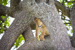 Cute young lion cub plays in tree Stock Image