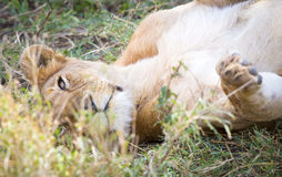 Cute young lion plays in grass at the savannah. A lion cub rests and plays in the grass in Serengeti Tanzania, Africa Royalty Free Stock Photography