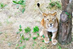 Cute young lion. Sitting under a tree stock photo