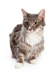 Cute Young Longhair Tabby Cat Sitting Stock Image