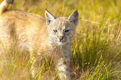 Cute young lynx cub walking in the grass Stock Images