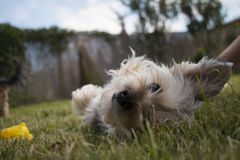 Cute young mixed-breed dog laying on the grass looking into the camera. Cute young mixed-breed dog is laying on the grass looking into the camera Stock Image