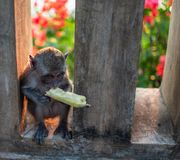 An young little macaque monkey eats banana. Cute monkeys stock photo