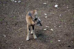 Cute young mouflon. Standing and scratching in nature Stock Image