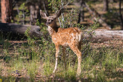 Cute Young Mule Deer Fawn Stock Photography