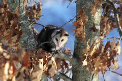 Cute Young Nocturnal Marsupial Opossum Climbing Oak Tree Royalty Free Stock Images