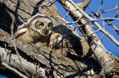 Cute Young Owlet Scanning its Surroundings Stock Photography
