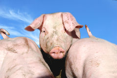 Cute young pig Stock Images