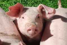 Cute young pig Stock Image