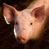 Cute young pig animal portrait Stock Photo
