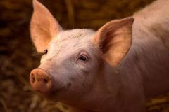 Cute young pig in sty Royalty Free Stock Photos