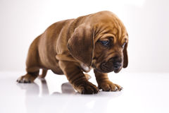 Cute young puppy dog Royalty Free Stock Images
