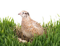 Cute young quail Royalty Free Stock Photography