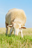 Cute young ram eating grass Royalty Free Stock Image