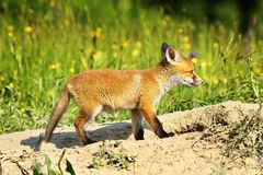 Cute young red fox Stock Photos