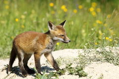 Cute young red fox Stock Photography
