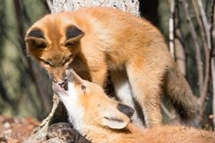 Cute young red foxes playing and biting nose. Two playful young red foxes, Vulpes vulpes, absorbed in rough game of biting nose stock photography
