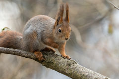 Cute young red squirrel sitting on tree branch Royalty Free Stock Images