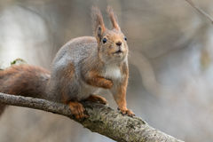 Cute young red squirrel sitting on tree branch, looking up. Cute young red squirrel sitting on tree branch, with lifted head, looking up to the sky. Soft, blur Stock Photo