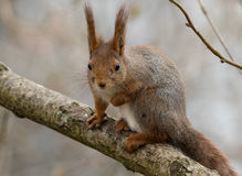 Cute young red squirrel sitting on tree branch with one lifted front leg Stock Images