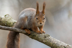 Cute young red squirrel sitting on tree branch with soft background Royalty Free Stock Image