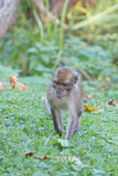 Cute young rhesus monkey Royalty Free Stock Photography