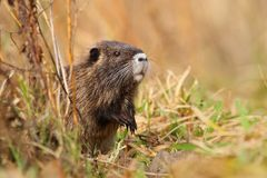 Cute young river coypu Royalty Free Stock Images
