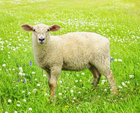 Cute young sheep. Cute funny sheep or lamb in green meadow stock images