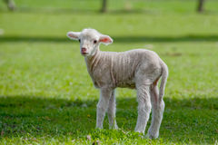 Cute Young Sheep royalty free stock images