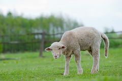 Cute Young Sheep Royalty Free Stock Image